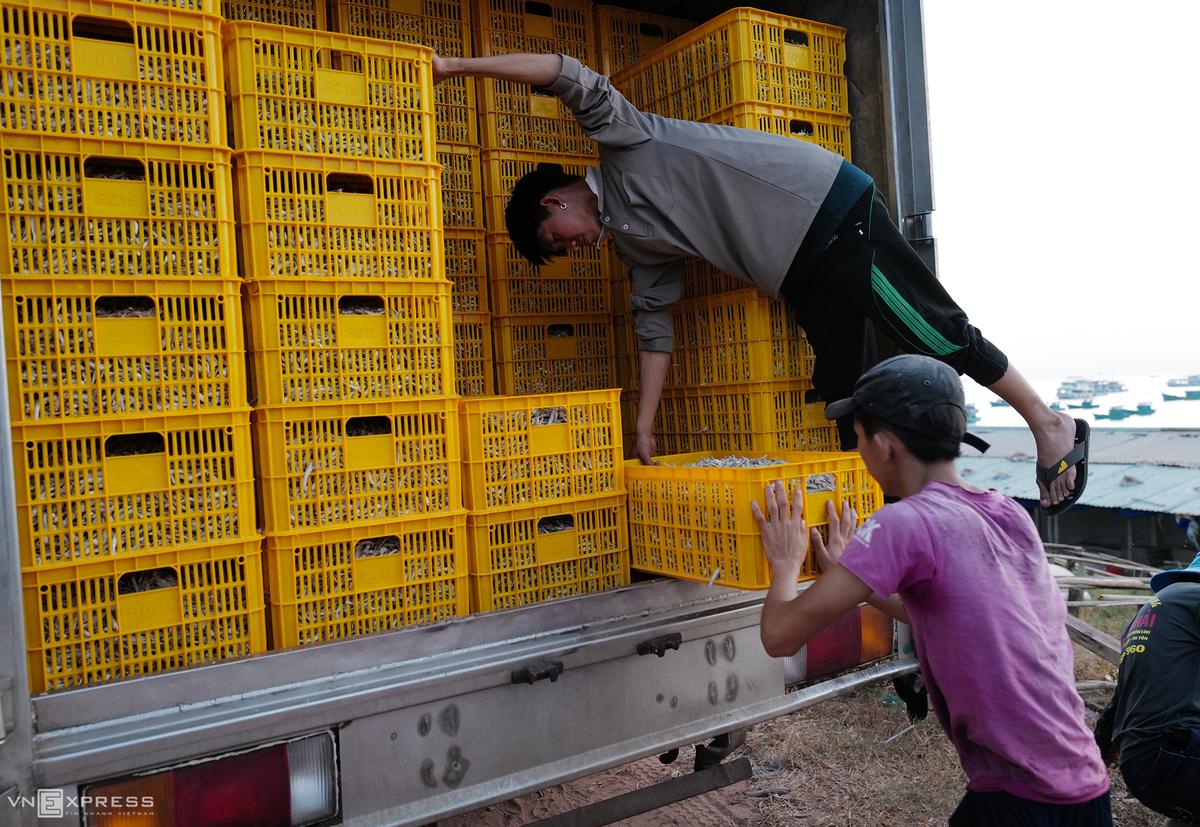 Cá cơm thành phẩm được vận chuyển đi giao